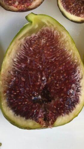 4x white Adriatic fig tree cuttings ficus carica self fertile