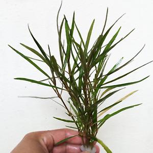 Hygrophila-Salicifolia-Bunch-B2G1-Live-Aquarium-Plants-Decorations-Green-Stems