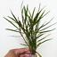 Hygrophila-Salicifolia-Bunch-B2G1-Live-Aquarium-Plants-Decorations-Green-Stems thumbnail 1