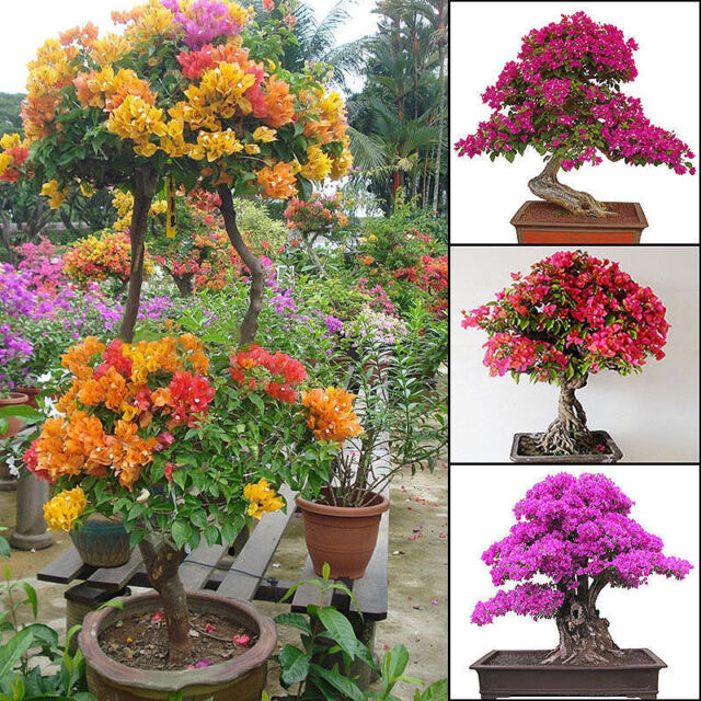 200pcs Mixed Color Bougainvillea Bonsai Flower Plant Seeds Home Garden Decor  Oh