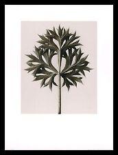 Karl Blossfeldt Mannstreu Poster Bild Kunstdruck im Alu Rahmen schwarz 80x60cm