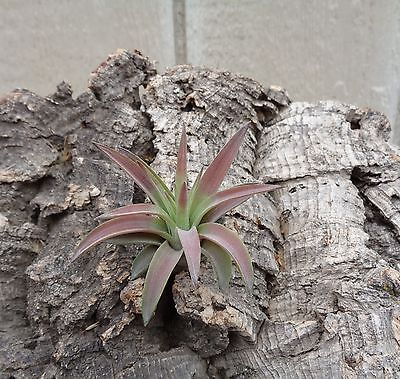 Mini Tillandsia Velutina