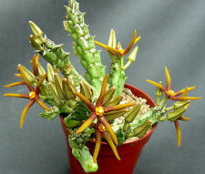 Orbea wissmannii V. eremastrum, 10cm, succulente, cactus, cactus, ascleps