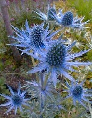 25 BLUE STAR SEA HOLLY Eryngium Flower Seeds + Gift & Comb S/H