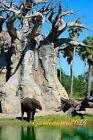 "10-50-100-200 graines Baobab Africain "" Baobab adansonia digitata "" ,seeds"