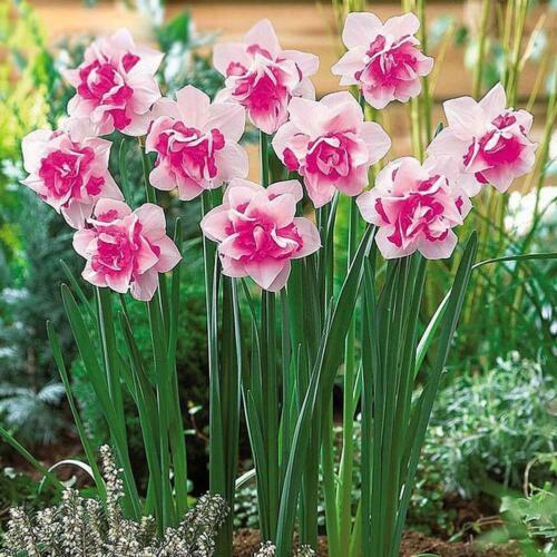 400X Charm Daffodil Seeds Spring Flower Double Narcissus Bulbs Seeds DIY Garden