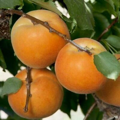 100 FRESH SEEDS FOR 2020 CROP AMERICAN PERSIMMON FRUIT TREE DIOSPYROS VIRGINIANA