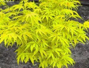 Acer Palmatum Aureum In 9cm Pot Ideal Bonsai Subject Ebay