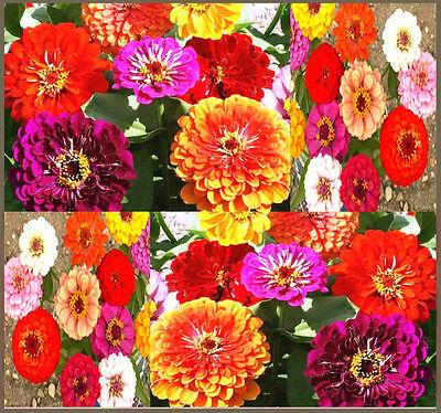 BULK Zinnia Seeds - Pumila Mix  Zinnia elegans - Pompon  Cut & Come Again Zinnia