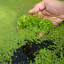 Lemna-Minor-Duckweed-Oxygenating-Plant-Pond-Food-Weed-Tropical-Coldwater-Fish miniatuur 1