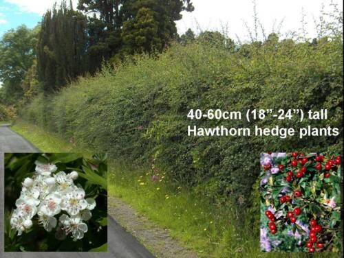 100x Crataegus Plants Hawthorn May Quick Farm Paddock native prickly hedge whips