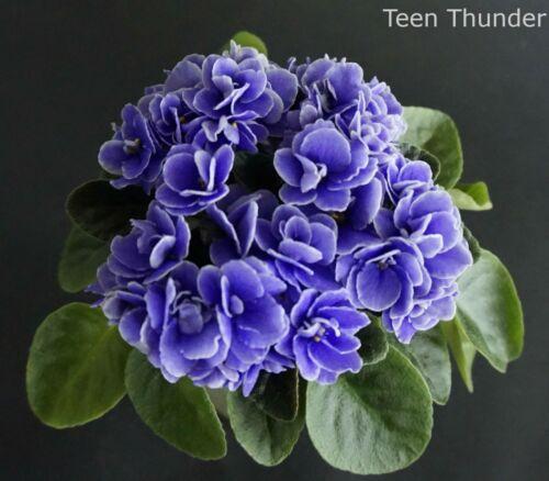 Teen Thunder 2 Feuilles//2 Leaves African Violet Saintpaulia