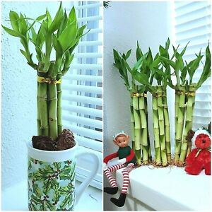 7-Lucky-Bamboo-Plants-6-inches-Feng-Shui-Gift-Water-or-Soil-Free-Shipping