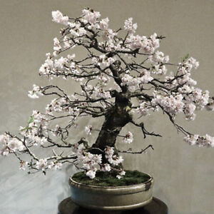 10pcs white plum bonsai seeds blossom in winter home garden plum image is loading 10pcs white plum bonsai seeds blossom in winter mightylinksfo