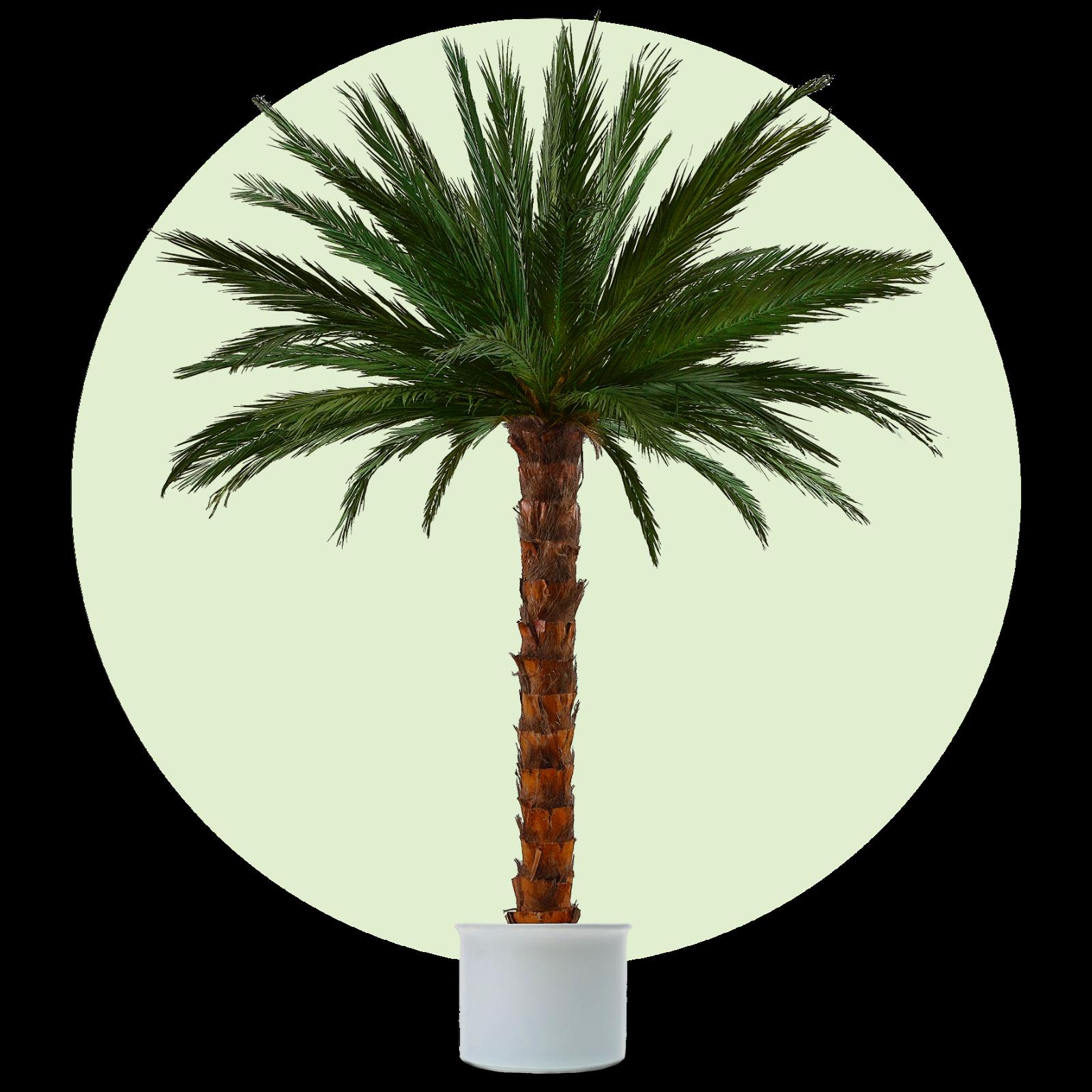 Kunstpalme, künstliche Palme, Dekopalme, konservierte, echte Palmwedel