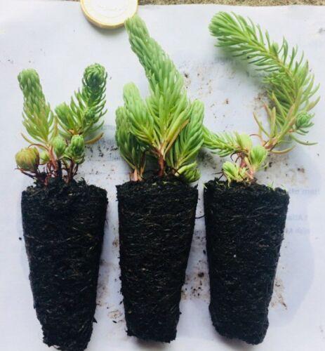 Evergreen Groundcover Plug Plants 3 X Sedum forsterianum 'Silver Stone' Alpine