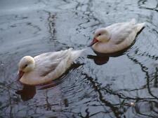 Exoticfarm Wassergeflügelstarter 6 kg Beutel  Enten- und Gänseküken Futter