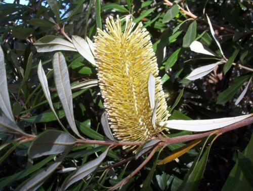 Coastal Banksia integrifolia 10 Fresh Seeds