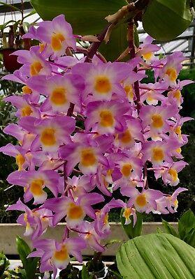 Dendrobium Species ´Pink Waterfalls´ XL Pflanze blühstark Orchidee Orchideen