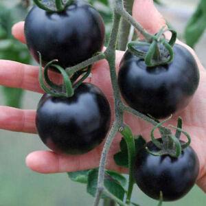 20-Unidades-Purple-Tomate-Semillas-Cherry-Balcon-Bonsai-Organic-Frutas