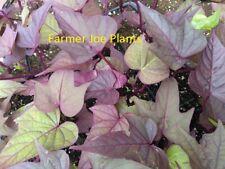 ACE OF SPADES SWEET POTATO VINE 8 STARTER PLANTS IPOMOEA