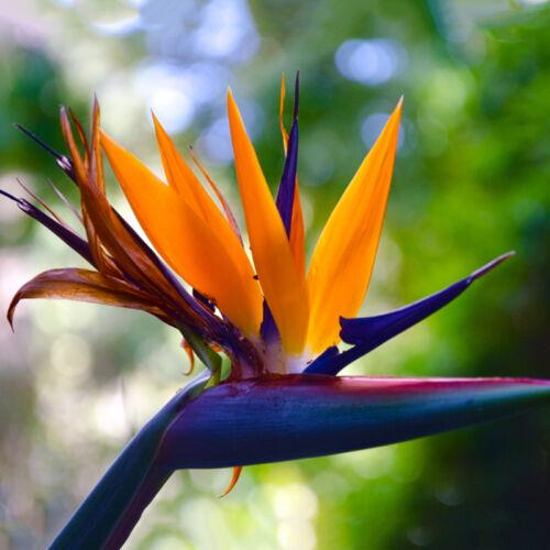 10 PC Strelitzia Fleur Plante Graines Décor De Jardin Tropical Oiseau Mauve Gra