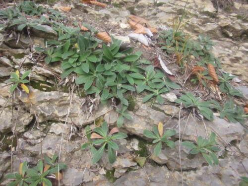 Hieracium pilosella KLEINES HABICHTSKRAUT 100 Samen Wildblume Steingarten