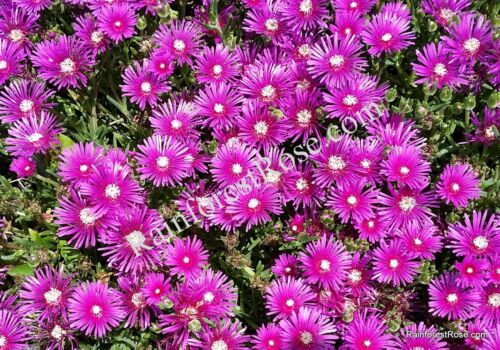 3 Delosperma ice cuttings COOPERI PURPLE flowers Cactus Succulents plants
