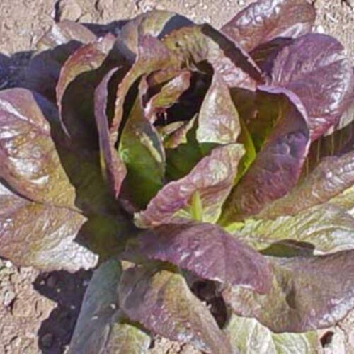 salad greens 275 seeds ROMAINE GroCo RED CIMMARON lettuce