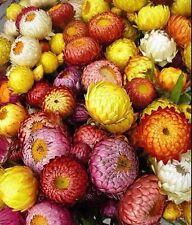 Strawflower Mix 75 seeds Helichrysum Bracteatum  CombSH D85