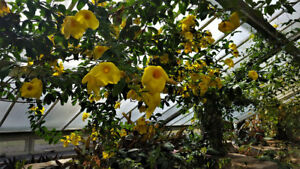 1-Live-and-Rooted-Plant-GOLDEN-TRUMPET-VINE-Starter-pack-Perennials-Fragrant