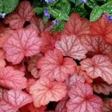 MIXED COLORS CORAL BELLS HEUCHERA Shade Flower 20 Seeds