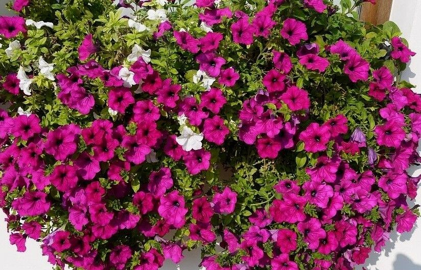 No Petunias Were Harmed In >> Petunia Violet Large Plants Many Small Flowers Violacaea Hanging