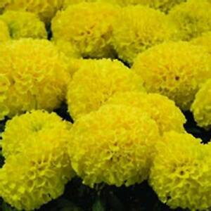 African Marigold Flower Garden Seeds Discovery Series F1 Yellow