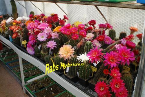 Infinity Echinopsis Schick Hybride #290 Gr 3 cm