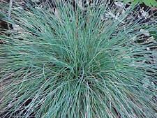 250 Seeds - Blue Fescue Grass - Festuca ovina glauca