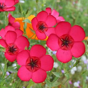 Linum Rubrum-200 seeds Flax BOGO 50/% off SALE Scarlet
