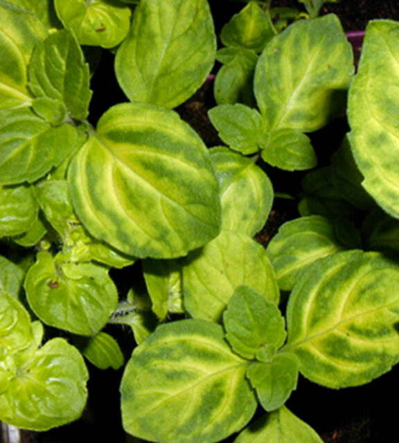 3 Ginger Mint Plug plants - New pack - Perennial Herb