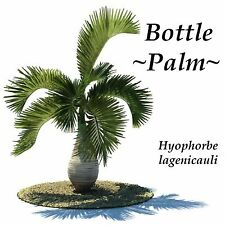 Bottle Palm Hyophorbe lagenicaulis 50 Fresh SEEDS u'll get BEST Seed from HAWAII