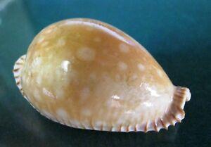 Cypraea Guttata 53.7 mm F++/+++ BUT still collectible specimen WOW!!!