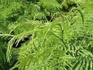 10-Acacia-Pennata-Cha-om-Seeds-Vegetable-Heirloom