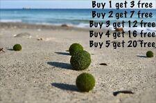 Marimo Moss Balls 0.25inch (0,6cm) Cladophora Live Plant Aquarium in USA.