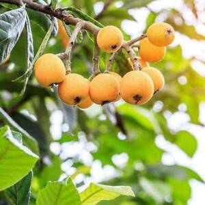 Image Is Loading 1 Pack 5 Pcs Loquat Tree Chinese Plum