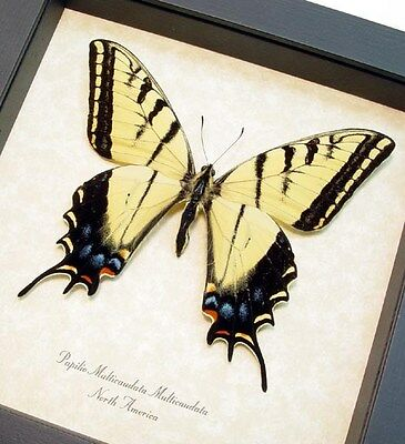 Real Framed Papilio Multicaudata Male Two Tailed Swallowtail Butterfly 8081