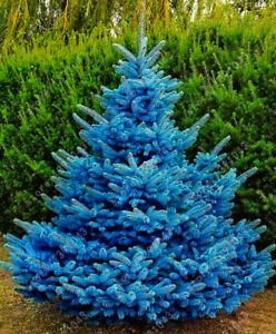 Blue-Spruce-Trees-Bonsai-Blue-Spruce-Seeds-Picea-Pungens-Seeds-Evergreen-Tree