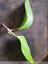 Hoya-young-house-plant-or-unrooted-cutting miniatuur 50