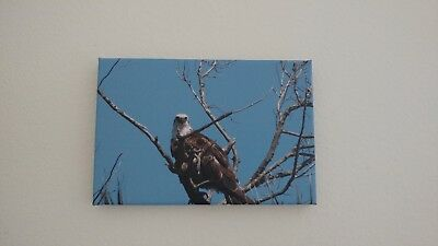 "Alaskan Bald Eagle Wildlife Animals Photo Art Canvas Giclee Print 24/"" x36/"""