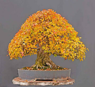 ARCE TRIDENTE trident  apto bonsai  25 Semillas Seeds