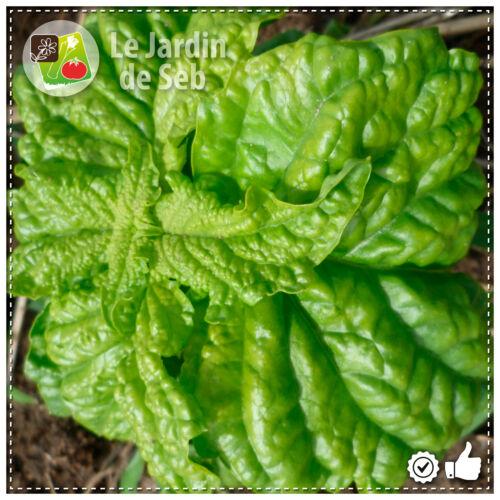 100 Graines de Basilic à feuilles de laitue SEB-004