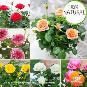 Rainbow-Rose-Tree-Seeds-Plants-And-Mini-Bonsai-Flower-Balcony-Rare-100pcs-bag